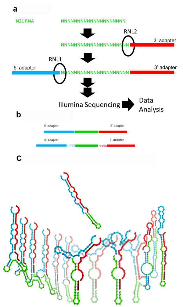 Scheme depicting the experimental approach and HD adapters . a Data were generated to analyse the sequence preferences of T4 Rnl1 and T4 Rnl2 using a degenerate RNA library (N21 RNA). b HD adapters include degenerate tags at the end of the adapters that allow the formation of stable secondary structures for more sequences and reduce RNA ligase-dependent sequence bias. Panel ( c ) shows the structure of miR-29b with the Illumina adapters ( top ) and some of the structures formed by HD adapters ( bottom ). We found 1,031 distinct structures originating from 12,479 tag combinations.