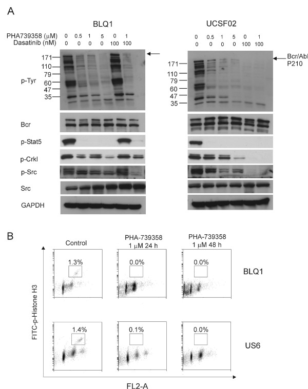 PHA-739358 eliminates activity of both Bcr/Abl and Aurora kinase. (A) . BLQ1 (Ph-positive T315I mutation) and UCSF02 (Ph-positive no mutation) cells were incubated with the indicated concentrations of PHA-739358 with or without dasatinib (100 nM) for 24 hours. Phosphorylation status of Bcr/Abl, Stat5, Crkl and Src was assessed by Western blot. Blots were stripped and reprobed with Bcr, Src and Gapdh as loading controls.  (B) . BLQ1 and US6 cells were exposed to 1 μM PHA-739358 for 24 and 48 hours and the percentage of phospho-histone H3 (Ser10) positive cells was defined by flow cytometry.