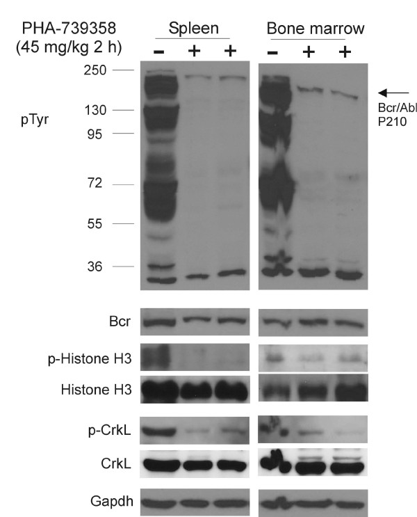 Monitoring of PHA-739358 treatment effect in vivo on molecular targets. Fully leukemic NSG mice transplanted with Pt2 Ph-positive ALL were treated with PHA-739358 (45 mg/kg, iv). Samples of one non-treated (−) and two drug-treated (+) mice are shown. Two hours after injection, spleen and bone marrow were collected. The expression of p-Tyr, p-histone H3 (Ser 10), p-Crkl, histone H3 and Crkl was assessed by Western blot. Bcr and Gapdh serve as a loading control.