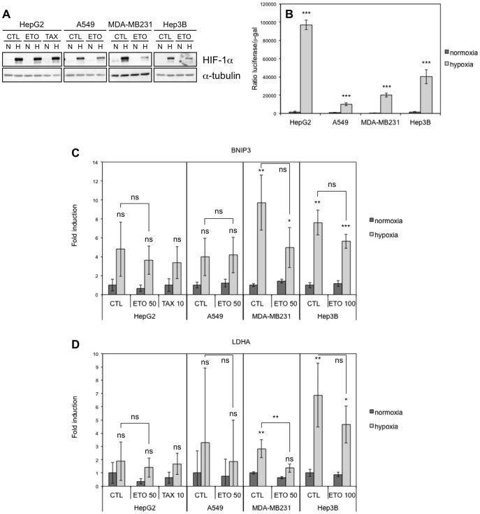 Effect of hypoxia, etoposide and paclitaxel on HIF-1alpha abundance and HIF-1 activity. HepG2, A549, MDA-MB231 and Hep3B cells were incubated 16 hours under normoxia (N, 21% O 2 ) or hypoxia (H, 1% O 2 ) (A-D) in the presence or not (CTL) of etoposide (ETO, 100 µM in Hep3B cells and 50 µM in the other cell types) or paclitaxel (TAX, 10 µM) in HepG2 cells (A, C, D). (A) HIF-1alpha was detected in total cell extracts by western blotting using a specific antibody. Alpha-tubulin was used as loading control. One experiment representative out of three. Uncropped western blots are presented in Figure S1 . (B) Before incubation, cells were co-transfected with the pGL3-(PGK-HRE6)-tk-luc reporter plasmid encoding the firefly luciferase and the pCMVß normalisation plasmid. Results are expressed as mean of the ratio between firefly luciferase activity and ß-galactosidase activity ±1 SD (n = 3). Statistical analysis was carried out with ANOVA 1. ***: P