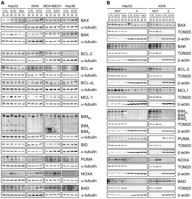 Effect of hypoxia, etoposide and paclitaxel on the abundance and localisation of BCL-2 family proteins. HepG2, A549, MDA-MB231 and Hep3B cells were incubated 16 hours under normoxia (N, 21% O 2 ) or hypoxia (H, 1% O 2 ) in the presence or not (CTL) of etoposide (ETO, 100 µM in Hep3B cells and 50 µM in the other cell types) or paclitaxel (TAX, 10 µM) in HepG2 cells. (A) Proteins were detected in total cell extracts by western blotting, using specific antibodies. alpha-tubulin was used as loading control. One experiment representative out of three. Uncropped western blots are presented in Figure S1 . (B) After the incubation, subcellular fractionation was performed and proteins were detected in the MLP (mitochondria-lysosome-peroxisome) and S (cytosolic) fractions by western blotting, using specific antibodies. TOM20 and β-actin were used as loading controls for the MLP and S fractions respectively. One experiment representative out of three. Uncropped western blots are presented in Figure S1 .
