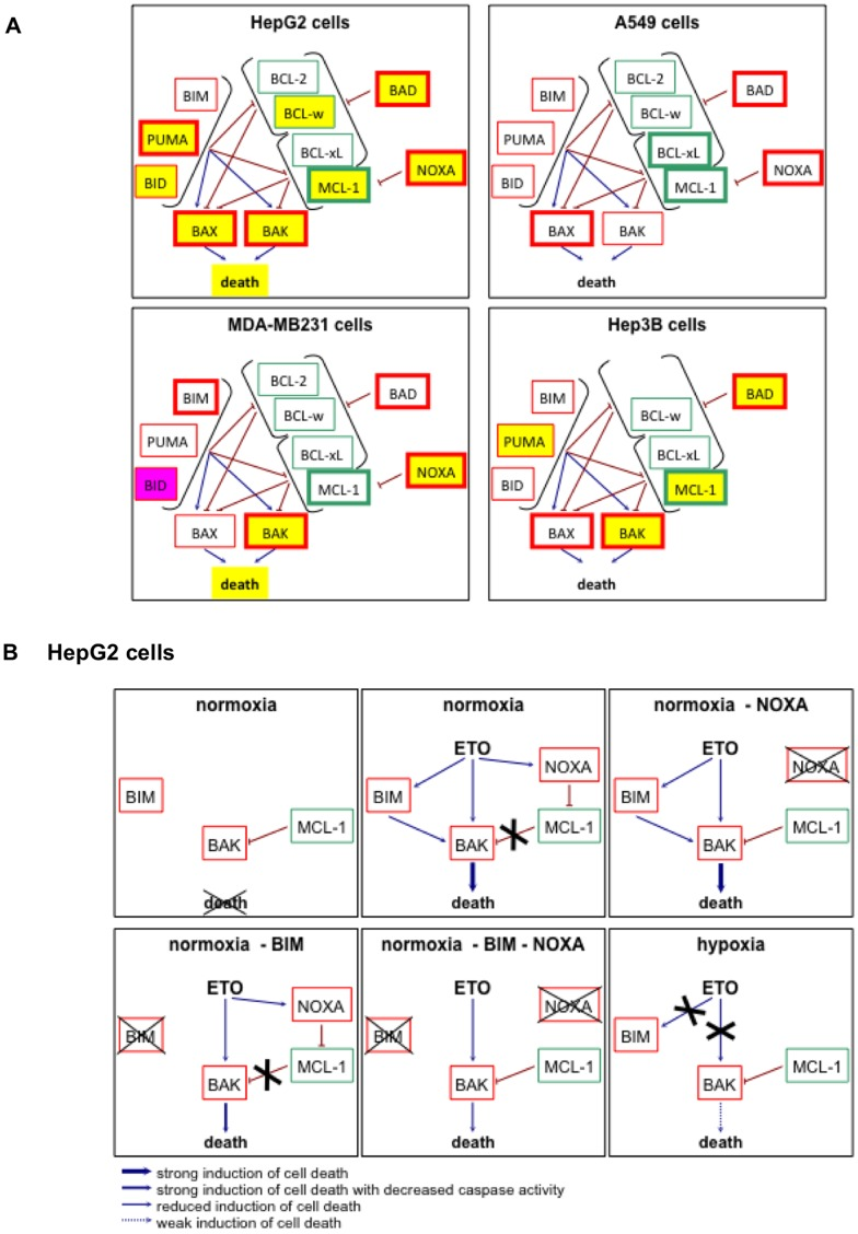 Schematic representation of the effects of hypoxia on the etoposide-induced effects on BCL2-family proteins. (A) Schematic representation of the results obtained in figure 4 . Anti-apoptotic proteins are represented outlined in green and pro-apoptotic proteins are outlined in red. The activation arrows and inhibition signs come from the hypothesis of the interactions between BCL-2 family proteins as explained in [69] , [70] . The proteins whose abundance is increased by etoposide are outlined with a thicker line. A yellow filling represents that, in the presence of etoposide, hypoxia decreased the abundance of the protein (or the death) as compared to normoxia. A pink filling represents that, in the presence of etoposide, hypoxia increased the abundance of the protein as compared to normoxia. (B) Schematic representation of the hypothetic relations between BIM, BAK, MCL-1 and NOXA. These possible mechanisms are represented for normoxic (21% O 2 ) or hypoxic (1% O 2 ) HepG2 cells incubated with or without etoposide (ETO; 50 µM) and with or without silencing (−) of NOXA and/or BIM. The hypothetic relations between these proteins are explained in details in the text. Anti-apoptotic proteins are represented outlined in green and pro-apoptotic proteins are outlined in red.