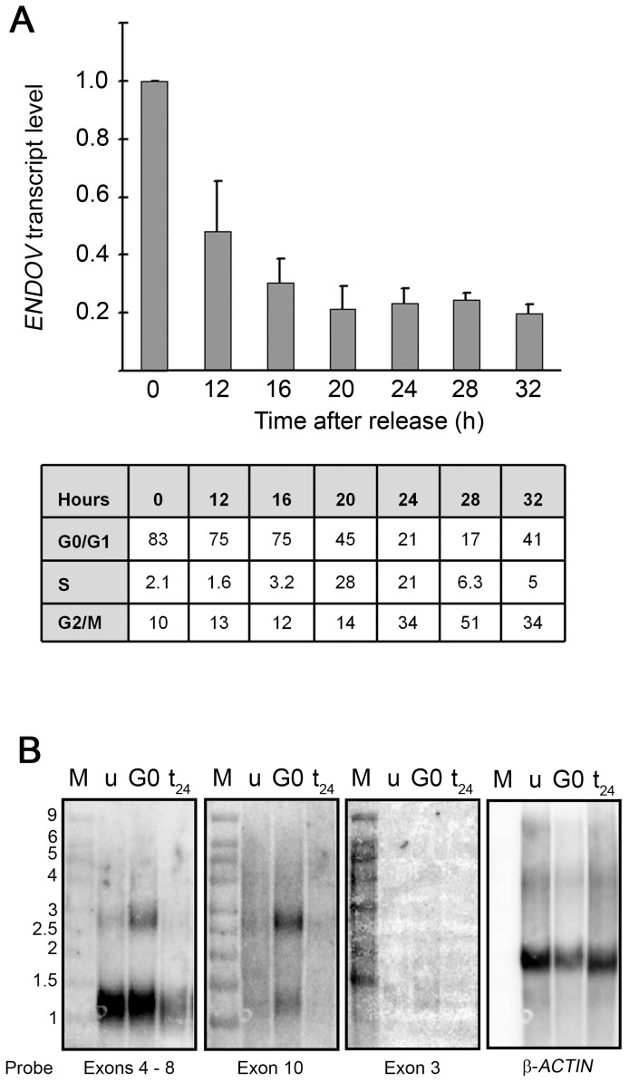 Upregulation of ENDOV transcription during quiescence. ( A ) Human embryonic fibroblasts were arrested in <t>G0</t> by serum starvation at confluence and released by replating 1∶4 in culture medium with serum. ENDOV transcript levels (exons 2 to 3) were measured during cell cycle progression after G0 release at indicated time points by qRT-PCR. G0 cells were used as the reference for calculations. The average of 3 parallels (same RNA) was calculated and standard deviation is shown. Cell cycle distribution was monitored using propidium iodide staining followed by flow cytometry after release from the block. The percentage of cells in each cell cycle is presented in the table. The experiment was repeated twice with similar results. ( B ) Nothern blot analysis of ENDOV mRNA. mRNA was isolated from human fibroblasts that were unsynchronised (u), G0 arrested (G0) and allowed to proliferate for 24 hours (t 24 ), separated by electrophoresis and transferred to a nylon membrane. Hybridisation signals with probes spanning exons 4–8, exon 10, exon 3 of ENDOV and for β -ACTIN are shown. M is the RNA size standard as indicated (in kilobases).