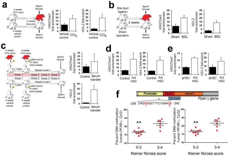 Extrahepatic transmission of epigenetic modifications and evidence for modifications in DNA methylation at fibrogenic regulator gene associated with liver disease progression in humans a–b) ChIP analysis of trimethylated H3 lysine 27 (H3K27me3) and histone variant H2A.Z enrichment at the rat PPAR-γ gene promoter in mature sperm collected from male adult rats that were given chronic CCl 4 or olive oil (control) for 4 weeks, then recovered for 2 weeks (n=5). All ChIP results in a) to e) are expressed as fold control isotype matched antibody. b) ChIP analysis as in a) was carried out on mature sperm isolated from male adult rats that underwent bile duct ligation (BDL) or sham operation (control) 15 days previously. c) ChIP analysis as in a) was carried out on mature sperm isolated from rats that received twice weekly intravenous serum transfers (for four weeks total) from control or rats that were given CCl 4 for 4 weeks and serum collected 48hrs following last injection (n=6) d) ChIP analysis as in a) was carried out on primary rat mesenchymal stem cells which were treated with control or 48hrs conditioned activated HSC media for 72hrs (n=3). e) ChIP analysis as in a) was carried out on human PPAR-γ gene promoter in primary human mesenchymal stem cells which were treated with quiescent (day 1) or activated HSC (day 15) conditioned media for 72hrs (n=3). f) DNA methylation at particular CG dinucleotides within human PPAR-γ promoter in NAFLD patients liver biopsy tissues was determined by pyrosequencing. Position of the differentially methylated CGs is shown in the schematic drawing above the graphs. Differences are expressed as percentage DNA methylation Statistical analysis; Mann Whitney test, where p=0.0013 for CpG1 and p=0.0047 for CpG2.