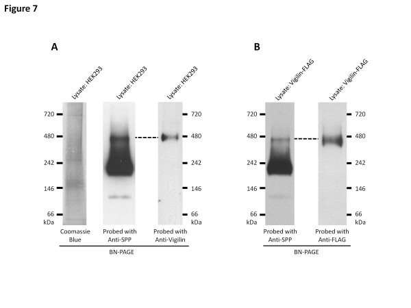 Vigilin is part of the 450 kDa SPP complex. ( A ) HEK293 cell lysate were solubilized in 0.5% DDM and resolved on 4-16% BN-PAGE gels. As shown on the left panel, SPP formed three distinct complexes at 450 kDa, 200 kDa and 100 kDa. Lysates probed with anti-vigilin antibody reveals that endogenous vigilin only forms one distinct complex on the BN-PAGE and that band co-migrates with the 450 kDa SPP complex. Lysates were also Coomassie stained to show that the 450 kDa SPP and vigilin containing complex was not a compression artifact of BN-PAGE gels, such as the band migrating at 700 kDa. ( B ) HEK293 vigilin-FLAG cell lysate were solubilized in 0.5% DDM and resolved on 4-16% BN-PAGE gels reveal that vigilin-FLAG also co-migrates with the 450 kDa SPP complex only. Data shown are representative blots from three independent experiments.