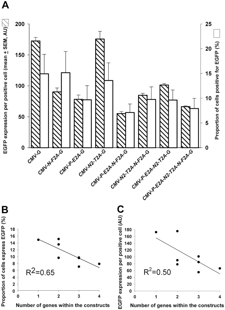 Analysis of EGFP expressing mouse ES cells 24 h post <t>transfection.</t> ( A ) Comparative analysis was conducted to determine the relationship between the mean EGFP expression per positive cell () and the proportion of cells expressing EGFP (). Data presented as mean ± SEM from 3 independent experiments. AU = arbitrary units. ( B ) The relationship between the proportion of cells expressing EGFP and number of genes contained within the constructs. Each point on the graph depicts the mean percentage of EGFP expressing cells transfected by one type of vector. Data was obtained from 3 independent experiments. ( C ) The relationship between EGFP expression per cell and number of genes within constructs. An inverse linear relationship between the number of genes contained within each vector and the mean EGFP expression levels per positive cell was observed, within an increased number of genes associated with decreased EGFP expression levels. R 2 = linear regression coefficient. AU = arbitrary units.