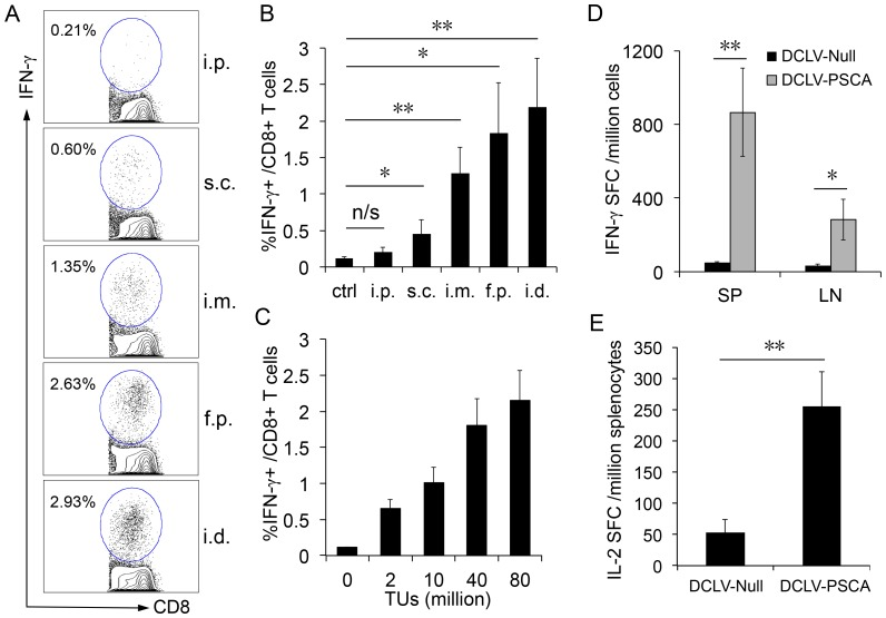 PSCA-specific T cell response after a single dose of in vivo immunization with DCLV-PSCA. (A) Male C57BL/6 mice were immunized with 6×10 7 TU of DCLV-PSCA through different administration routes: intraperitoneal space (i.p.), subcutaneous area (s.c.), intramuscular area (i.m.), footpad (f.p.), or intradermal (the base of tail, i.d.). One immunization group was included as a negative control. Two weeks after immunization, splenocytes from mice were harvested and analyzed for the presence of PSCA-specific CD8 + T cells by restimulating splenocytes with a PSCA peptide (PSCA 83-91 ), followed by intracellular staining for IFN-γ and surface staining for CD8. Percentage of IFN-γ-secreting CD8 + T cells is indicated. (B) Statistical comparison of immunization elicited by administration of DCLV-PSCA among different administration routes. (C) Male C57BL/6 mice were immunized with different doses of DCLV-PSCA vectors (0, 2, 10, 40 and 80 million TU) at the base of tail. Two weeks post-vaccination, PSCA-specific CD8 + T cells from the spleen were analyzed by restimulating with the peptide PSCA 83-91 , followed by intracellular staining for IFN-γ. (D) Production of PSCA-specific IFN-γ-secreting cells from both spleen (SP) and inguinal lymph node (LN) was evaluated by restimulation with the PSCA 83-91 peptide, followed by ELISPOT analysis for IFN-γ. (E) Production of PSCA-specific IL-2 from splenocytes (with CD8 + T cells depleted) was measured by restimulation with 293T cell lysate transfected to express PSCA, followed by the ELISPOT analysis for IL-2. (**: P