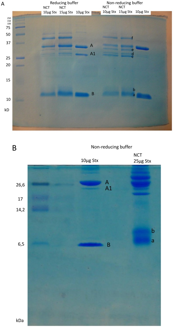 Impact of NCT on purified Stx2 demonstrated in gel electrophoresis. (A) Purified Stx2 was treated with 55 mM NCT for 30 min at RT. Then, an aliquot was used for <t>SDS-PAGE.</t> Reducing buffer contained 4.5% v/v mercaptoethanol. A gel containing bands of aliquots containing 10 or 15 µg Stx2 is shown (one representative of three independent experiments). Bands a–f were subjected to in-gel digestion and mass spectrometry. (B) Purified Stx2 was treated with 55 mM NCT for 30 min at RT and subjected to a tricine gel for improved separation of the low molecular weight bands. Note the separation of the B subunit in bands a and b, which were subjected to in-gel digestion and mass spectrometry.