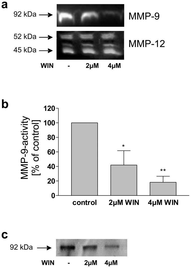 Treatment with WIN reduced secretion and activity of MMP-9 in macrophageal differentiated U937 cells. (a) Western blot analysis of conditioned medium using antibodies against MMP-9 and MMP-12. WIN-treatment resulted in a significant decrease of secreted MMP-9, whereas MMP-12 secretion was not affected. Control cells were treated with vehicle. The figure shows one representative analysis out of three. (b) MMP-9 activity-ELISA of conditioned medium. Upon treatment with 2 µM WIN a reduction of MMP-9 activity was observed, after treatment with 4 µM WIN the reduction was even stronger. Control cells were treated with vehicle. Data are shown as means +/− SD, n = 3. *p