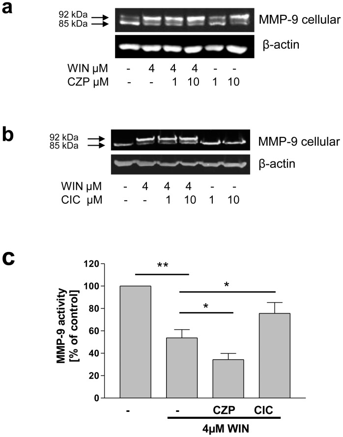 TRPV1 was involved in inhibition of secretion and intracellular accumulation of MMP-9 upon WIN-treatment. (a,b) Western blot analyses of U937-macrophage cell lysates (MMP-9 cellular) using MMP-9 antibody. (a) Treatment with the TRPV1 antagonist capsazepine (CZP) enhanced the WIN-induced size shift of MMP-9 from 85 to 92 kDa when given parallel to WIN and mimicked this effect when administered separately. The figure shows one representative analysis out of three. (b) Treatment with the TRPV1 agonist capsaicin (CIC) antagonized the WIN-induced size shift while it exhibited no effect when given alone. The figure shows one representative analysis out of three. (c) MMP-9 activity–ELISA of conditioned medium. The WIN-induced decrease of MMP-9 activity was intensified by CZP (10 µM), and antagonized by CIC (10µM). Data are shown as means +/− SD, n = 3. **p
