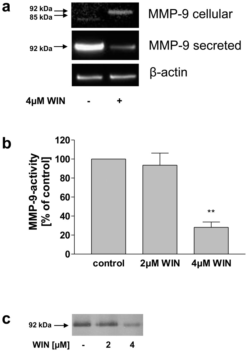 Inhibition of <t>MMP-9</t> secretion and activity and intracellular accumulation of MMP-9 in WIN-treated activated primary peripheral monocytes. (a) Western blot analysis of cell lysates (MMP-9 cellular) and conditioned medium (MMP-9 secreted) using anti-MMP-9 antibodies. The figure shows one representative analysis out of three. WIN inhibited MMP-9 secretion and induced an intracellular accumulation of 92 kDa MMP-9. (b) MMP-9 <t>activity-ELISA</t> of conditioned medium. Upon treatment with 2 and 4 µM WIN, a concentration-dependent reduction of MMP-9-activity was observed. Data are shown as means +/− SD n = 3. **p