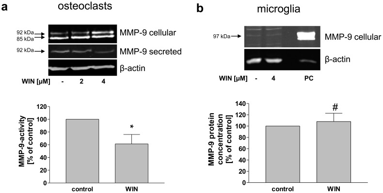 Inhibition of MMP-9 secretion and activity and intracellular accumulation of MMP-9 in WIN-treated osteoclasts, but not in microglia. (a) Western blot analysis of cell lysates (MMP-9 cellular) and conditioned medium (MMP-9 secreted). using anti-MMP-9-antibody and MMP-9-activity ELISA of conditioned medium (bar chart) from osteoclasts. Upon WIN treatment (4 µM), the amount of intracellular 92 kDa-MMP-9 was enhanced, while the amount of secreted MMP-9 and the activity of MMP-9 in the conditioned medium was decreased. (b) Western blot analysis of cell lysates (MMP-9 cellular) using anti-MMP-9-antibody and MMP-9 ELISA of conditioned medium (bar chart) from primary microglia. Size and amount of intracellular MMP-9 were not changed after WIN-treatment (4 µM). The amount of MMP-9 in the conditioned medium increased insignificantly. PC = positive control (U937 macrophages). The figure shows one representative analysis out of three. Data are shown as means +/− SD n = 3. *p