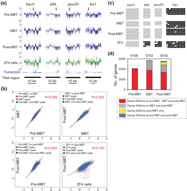 Promoter DNA methylation states during the transition through the MBT period . (a) MeDIP-chip profiles of DNA methylation in tiled regions spanning a housekeeping gene ( bact1 ) and developmentally regulated genes ( klf4 , pou5f1 , fez1 ) (log2 MeDIP/input ratios), in pre-MBT, MBT, and post-MBT embryos and in the ZF4 fibroblast cell line. Red arrows in the upper track point to regions analyzed by bisulfite sequencing in (b). (b) Two-dimensional scatter plots of MaxSixty values for MeDIP log 2 signal intensities at indicated developmental stages (pairwise) and in ZF4 cells. Average MaxSixty values for both MeDIP replicates are plotted for each stage. Data points are colored to indicate classification according to peak calling algorithm, to show methylated promoters in one only (purple, green) or both (blue) stages. (c) Bisulfite sequencing validation of MeDIP-chip data shown in (a); 5' to 3' orientation; filled circles indicate methylated cytosine; empty circles indicate unmethylated cytosine. (d) Numbers of methylated genes pre-MBT, MBT and post-MBT. Color reflects genes whose methylation is maintained between stages.