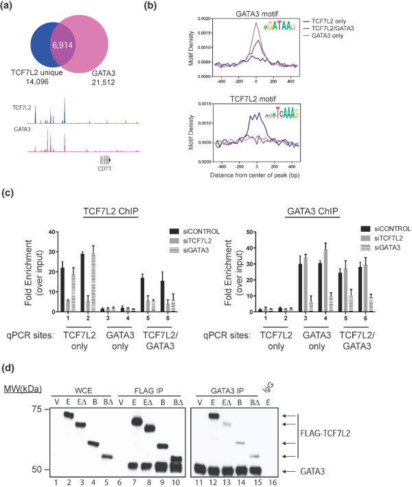 Association of TCF7L2 and GATA3 in MCF7 cells . (a) GATA3 ChIP-seq in MCF7 cells was performed, and peaks were called and then overlapped with the MCF7 cell type-specific TCF7L2 peaks; a comparison of TCF7L2 and GATA3 binding patterns near the CDT1 locus is shown. The hg19 genomic coordinates are chr16:88,861,964-88,880,233. (b) Peaks bound only by GATA3, only by TCF7L2, or by both factors were analyzed for the presence of GATA3 and TCF7L2 motifs. The GATA3 motif is found in sites bound by GATA3 only and in sites bound by both factors, whereas the TCF7L2 motif is found only in the sites bound only by TCF7L2 and not in the sites bound by both factors. (c) Depletion of GATA3 results in loss of TCF7L2 occupancy at sites bound by TCF7L2 and GATA3 sites but not at sites only bound by TCF7L2. MCF7 cells were transfected with siRNAs specific for TCF7L2 or GATA3 or control siRNAs. ChIP-qPCR assays were performed using antibodies specific for TCF7L2 (left panel) or GATA3 (right panel) using primers specific for peaks bound only by GATA3, only by TCF7L2, or by both factors. Shown are ChIP-qPCR results performed in triplicate and plotted with the standard error of two independent experiments. (d) Co-immunoprecipitation of endogenous GATA3 and FLAG-tagged TCF7L2 constructs from MCF7 cells. The left panel analyzes whole-cell extracts (WCE) and FLAG immunoprecipitation (FLAG IP) eluates from MCF7 cells transfected with the indicated FLAG-tagged plasmids; the membrane was incubated with both anti-FLAG and anti-GATA3 antibodies. Note that the GATA3 signal in input WCE extracts is quite weak and can generally only be visualized after concentration by immunoprecipitation. The right panel is a separate blot prepared in the same way (using the GATA antibody for immunoprecipitation), but does not include the WCE extracts. V, vector control; E, full length TCF7L2; EΔ, TCF7L2 lacking the amino terminus; B, TCF7L2 isoform lacking the carboxyl terminus; BΔ, TCF7L2 isoform lacking the amino 