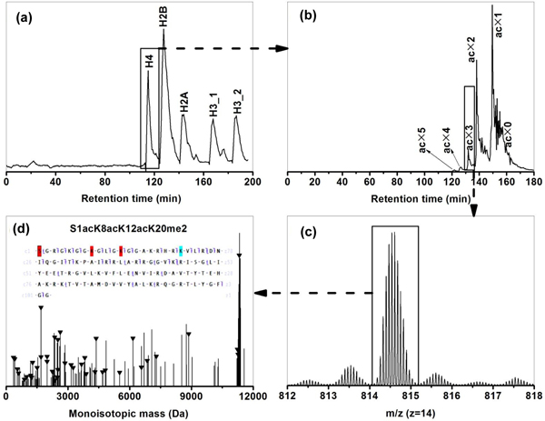 Overall experimental workflow as illustrated by the identification of H4 (P62805) isoform S1acK8acK12acK20me2 . (a) UV chromatogram from first dimension RPLC separation of 7.5 μg of HeLa core histone mixture. (b) MS-only total ion current (TIC) chromatogram from WCX-HILIC-MS/MS analysis of H4 fraction from the first dimension. (c) Representative mass spectrum (only charge state 13 shown) at retention time 136.54 min from WCX-HILIC-MS/MS analysis of H4 fraction from the first dimension. (d) Representative deconvoluted CID spectrum for precursor ion m / z 877.12 with matching fragments marked with 'triangles'. The inset is the matching fragment mapping on the protein amino acid sequence with PTMs color-coded. CID, collision induced dissociation; PTMS, post-translation modifications; RPLC, reversed phase liquid chromatography; WCX-HILIC-MS/MS, weak cation exchange-hydrophilic interaction liquid chromatography-tandem mass spectrometry.