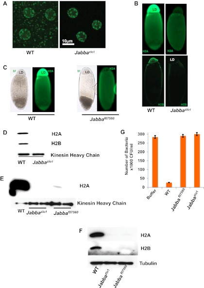 Presence of extranuclear histones depends on the Jabba protein. ( A ) Histone H2Av GFP is not detectable in cytoplasmic puncta of Jabba zl01 embryos. Both genotypes show strong signal in nuclei. ( B ). By immunostaining, endogenous H2A and H2B are absent from the lipid droplet layer (LD) of centrifuged Jabba zl01 embryos. ( C ). Histone H2A is absent from the lipid droplet layer in centrifuged Jabba f07560 embryos. BF is the bright field image and LD is the lipid droplet layer. ( D ). Equal amounts of proteins from purified LDs were compared by Western analysis. Droplets from Jabba zl01 embryos lack histones H2A and H2B. The droplet-bound Khc protein serves as loading control. ( E ). When compared side by side, similar reductions in droplet-bound histones were found for both the independently isolated Jabba alleles Jabba f07560 and Jabba zlo1 . ( F ). Western blot of equal numbers of unfertilized wild-type and Jabba mutant embryos. Overall levels of histone H2A and H2B are significantly reduced in the Jabba mutants. ( G ). LDs purified from embryos of two independently isolated Jabba mutants revealed no bacterial killing activity in antibacterial plate assays, with bacterial growth comparable to buffer alone, in contrast to droplets purified from wild-type embryos which dramatically decreased bacterial growth. DOI: http://dx.doi.org/10.7554/eLife.00003.004