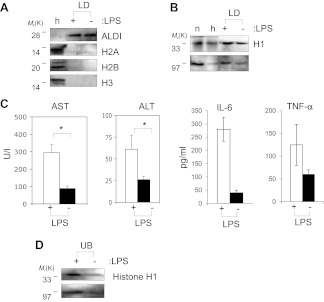 Histones are on mammalian LDs and respond to LPS. ( A ). Western blot analysis of LDs (LD) purified from hepatocytes of mice injected with (+) or without (−) LPS. Antibodies against ALDI, histones H2A, <t>H2B</t> and H3 were used. Whole liver homogenate (h) was used for comparison and as a control. ( B ) The presence of histone H1 (H1) on LDs (LD) purified from hepatocytes of mice injected with (+) or without (−) LPS was detected by immunoblot, and more H1 was present on droplets purified from LPS-treated animals. Equal total proteins from the nuclear fraction (n) and from whole liver homogenate (h) were used as comparison. ( C ). Mice were injected intraperitoneally with (+) or without (−) LPS, and transaminase levels (AST and ALT) and cytokine levels (IL-6 and TNFα) were quantified in units/l or units/ml in the serum; asterisk indicates statistical significance (p=0.05), confirming that LPS injection provoked the expected biological response. ( D ). Western blot analysis of histone H1 released into the buffer (UB) when purified LDs, from the liver of infection induced mice, were treated with LPS (+). Histone H1 is either minimally detected or not at all detected in the buffer in the absence of LPS (−). The band at 97 kDa in C and D represents histone H1 oligomers. DOI: http://dx.doi.org/10.7554/eLife.00003.011