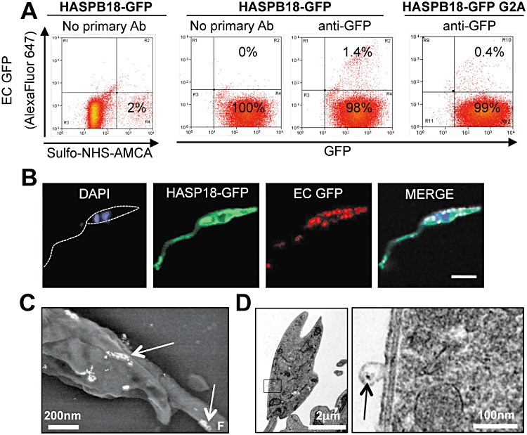 HASPB18–GFP is exposed on the surface of live metacyclic L. major . A. Surface HASPB18–GFP exposure was determined by FACS analysis of live HASPB18–GFP L. major (following labelling with Sulfo-NHS-AMCA to distinguish between live and dead cells) using mouse anti-GFP and detection by AlexaFluor-647-conjugated goat anti-mouse IgG. Non-N-myristoylated HASPB18–GFP G2A parasites were used as the control for non-surface exposure. The live/dead analysis (left hand panel) detected 2% dead cells in the HASPB18–GFP parasite population; the remaining analyses (centre and right hand panels) are gated on live cells only. EC GFP, extracellular GFP. B. Confocal microscopic analysis of a metacyclic HASPB18–GFP L. major labelled using the protocol in (A); extracellular HASPB18–GFP, detected by mouse anti-GFP, decorating the surface of the cell body and flagellum in a punctate distribution, while intracellular protein was detected by GFP fluorescence. Size bar, 5 µm. C. Scanning immunoelectron microscopy of a metacyclic HASPB18–GFP L. major incubated live with mouse anti-GFP, prior to fixation in 4% paraformaldehyde and incubation with goat anti-mouse IgG 10 nm gold. Samples were post-fixed in 2.5% glutaraldehyde, dehydrated and carbon coated, prior to visualization. White arrows indicate surface-localized gold labelling, F indicates flagellum protruding from parasite body. D. Transmission immunoelectron microscopy of HASPB18–GFP L. major parasites, labelled as in (C). Samples were post-fixed in 2.5% glutaraldehyde/4% formaldehyde and resin embedded, prior to sectioning and visualization. The black box within the whole-cell image represents the area enlarged on the right. Black arrow indicates gold labelling on a surface vesicle.