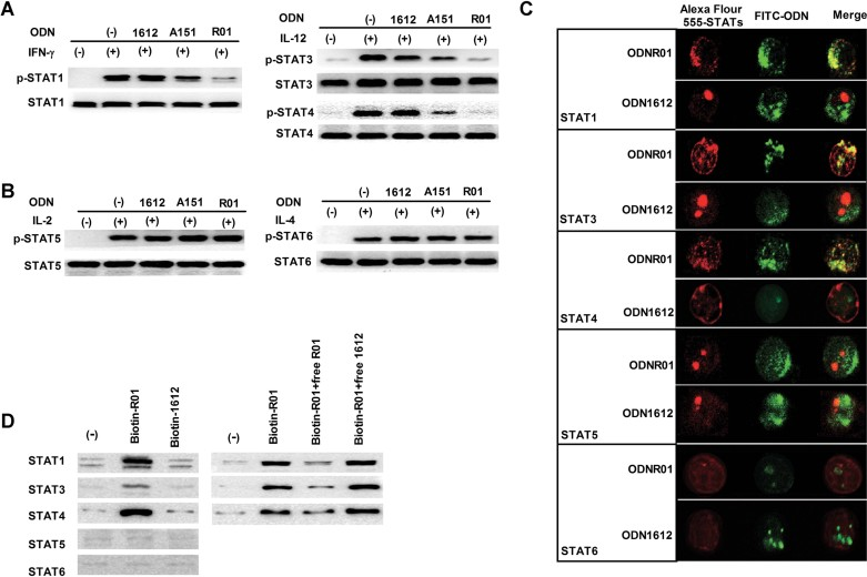 Immunosuppression of STAT1/3/4 phosphorylation by ODNR01 selective binding A,B. STAT and phospho-STAT Western blot analysis of anti-CD3/28 mAb-stimulated CD4 + T cells treated with indicated cytokines, with and without 5 µM of ODNR01, ODNA151 or ODN1612. C. Confocal microscopy to detect co-localization of FITC-conjugated ODNs (2.5 µM; green) with different Alex Fluor 555-conjugated anti-STAT rabbit polyclonal antibodies (red) in CD4 + T cells after 24 h of incubation. D. Left panels: Immunoblot analysis of STATs from CD4 + T cells pre-incubated with 5 µM biotinylated-ODNs, lysed, and precipitated with avidin agarose beads for STAT detection. Right panels: Immunoblot analysis of STATs from CD4 + T-cell lysates that were pre-incubated with 1 µM biotinylated ODN and 5 µM unlabelled ODN for 1 h and immunoprecipitated with avidin beads for detection of different STAT. The experiments were repeated three times with similar results.