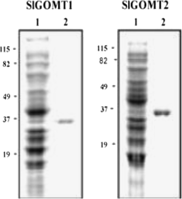 Purification of SlGOMT1 and SlGOMT2. Both GOMT1 and GOMT2 were purified by Ni 2+ affinity chromatography and separated by SDS-PAGE. Lane 1 shows the soluble crude bacterial extract (~10 μg) and lane 2 shows the purified protein (~1 μg). Molecular weight markers are shown on the left.