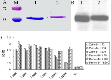 Characterization of the truncated recombinant nucleocapsid protein of RESTV (Reston-NP) and EBOV (Zaire-NP). Coomassie staining ( A ) and western blot analysis ( B ) of purified proteins separated by 10% SDS-PAGE. Lane M: molecular weight markers from Fermentas; Lane 1: Reston-NP; Lane 2: Zaire-NP. ( C ) ELISA analysis of Reston-NP and Zaire-NP using hyperimmune rabbit sera raised against the full-length Reston-NP.