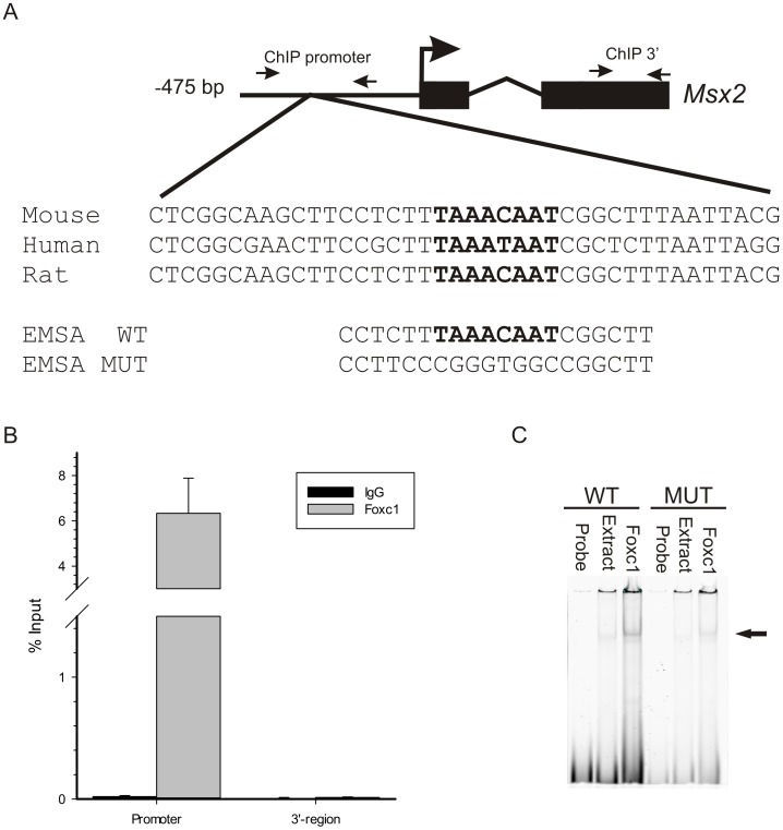 FOXC1 binds to the Msx2 promoter in vivo. (A) Sequence analysis of upstream regulatory elements reveals the presence of a FOXC1 binding motif, indicated in bold, (TAAAT/CAAT) located in a conserved motif near the predicted Msx2 transcription start site of the mouse, rat and human genes. Small arrows correspond to the position of ChIP primers located in the promoter region or the coding region of mouse Msx2 . Nucleotide sequences of the Electrophoretic mobility shift assay (EMSA) probes for wild type (WT) and mutated (MUT) FOXC1 binding sites are indicated. (B) Chromatin immunoprecipitation assays confirm the binding of FOXC1 to the Msx2 promoter in vivo . Quantitative PCR (qPCR) was conducted on ChiP products isolated from 10T1/2 cells using antibodies recognizing FOXC1 or normal immunoglobulins (IgG). Primers were designed amplify regions in the promoter flanking the putative FOXC1 binding site or exon 2 of the mouse Msx2 gene. Amplification signals are presented a percentage compared to input chromatin fraction. (C) EMSAs demonstrate FOXC1 binding to DNA elements in the Msx2 promoter. Extracts from U2OS cells or cells transfected with FOXC1 were incubated with IR700-labeled oligonucleotides correspond to the WT or MUT FOXC1 binding sites. FOXC1-DNA complexes are indicated by the arrow.
