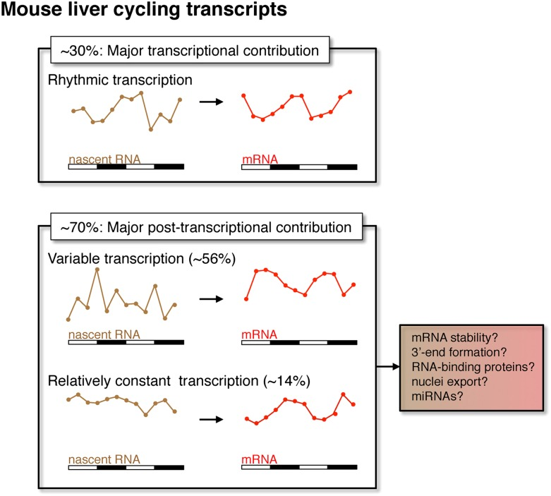 Post-transcriptional events contribute to rhythmic mRNA expression in the mouse liver. Although rhythmic transcription plays a major role for approximately 30% of the genes that exhibit rhythmic mRNA expression, post-transcriptional events significantly contribute to the generation of mRNA rhythms for the majority of genes (∼70%). Many post-transcriptional cyclers exhibit highly variable transcription that is buffered to generate robust rhythmic mRNA expression. Few genes exhibit a relatively constant transcription when compared to mRNA expression. These post-transcriptional events may include roles for RNA binding proteins and miRNAs to regulate RNA stability, 3′ end formation and nuclei export. DOI: http://dx.doi.org/10.7554/eLife.00011.021