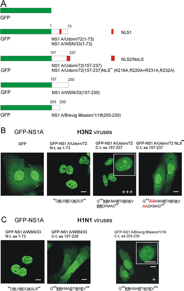 The C-terminal end of the NS1 protein in H3N2 type influenza A viruses encode for a functional NoLS. ( A ) The N- and C-terminal fragments of the NS1 genes, encoding for amino acids 1–73 and 157–237 in A/Udorn/72, amino acids 1–73 and 157–230 in A/WSN/33 and amino acids 203–230 in A/Brevig Mission/1/18, were inserted into the GFP expression vector pCMX-SAH/Y145F to express GFP-NS1 fusion proteins. Mutations in the C-terminal NLS2/NoLS of A/Udorn/72 virus NS1 protein were performed as described in Materials and Methods. Red boxes indicate the positions of N-terminal NLS1 and C-terminal NLS2/NoLS in NS1 protein. ( B ) HuH7 cells were transiently transfected with GFP, GFP-NS1 fusion and GFP-NS1 fusion mutant (K219A,R220A + R231A,R232A) A/Udorn/72 gene constructs, as indicated in the figure, for 48 h. The intensity of nucleolar localization was scored by immunofluorescence microscopy as no nucleolar staining (−) or weak (+), moderate (++) or strong (+++) nucleolar staining. Critical basic amino acids involved in nuclear/nucleolar targeting are marked in boldface and underlined. Mutated amino acids (K219A,R220A + R231A,R232A) are marked in red. ( C ) HuH7 cells were transiently transfected with GFP and the GFP-deletion gene constructs of NS1 A/WSN/33 and NS1 A/Brevig Mission/1/18 for 48 h as indicated in the figure. Critical and mutated amino acids are marked as above. Bars, 5 μm.