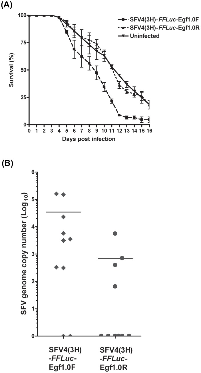 Expression of Egf1.0 increases mortality of Ae. aegypti and replication of SFV in vivo . ( A ) Ae. aegypti were fed blood containing SFV4(3H)- FFLuc -Egf1.0F or SFV4(3H)- FFLuc -Egf1.0R. Uninfected blood meals served as a control. Mosquito mortality was then monitored daily post-bloodmeal. Combined survival data from three independent experiments (cohorts of 22–25 infected mosquitoes per virus or control mosquitoes in each experiment) are shown. Error bars show standard deviation. ( B ) SFV genome copy number as determined by real time qPCR. Total RNA was extracted 3 days post-bloodmeal from mosquitoes infected with SFV4(3H)- FFLuc -Egf1.0F or SFV4(3H)- FFLuc -Egf1.0R. Viral genome RNA levels from 10 mosquitoes for each virus are shown. Values at 0 represent uninfected mosquitoes. Horizontal bar indicates average genome copy number from infected mosquitoes. This experiment was repeated three times with similar results.