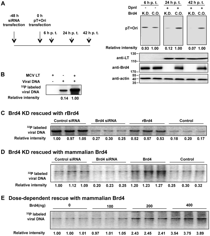 """Brd4 is important for MCV DNA replication. A . Brd4 knockdown inhibits MCV replication in vivo . C33A cells were transfected with either a siRNA targeting Brd4 (K.D.) or a non-targeting siRNA control (C.O.). Forty-eight h later, cells were transfected with pT+Ori and this time was set as 0 h. Total DNA was extracted at 6, 24 and 42 h p.t.; 2 µ g of the DNA samples from 6 h p.t. were digested with EcoRI and plasmid DNA was detected by Southern blotting. 10 µ g of the DNA samples from 24 and 42 h p.t. were digested with both EcoRI and DpnI to specifically detect replicated plasmid. Protein extracts were immunoblotted for MCV LT, Brd4 and actin. B . MCV LT-dependent in vitro replication of MCV genome. In vitro MCV replication was performed using full length MCV genomic DNA and cell extracts prepared from 293T cells transfected with either pcDNA4C-MCV LT or pcDNA4C. C . Brd4 knockdown inhibits viral DNA synthesis in vitro and the inhibition can be rescued by recombinant Brd4. 293T cells were transfected with a Brd4 siRNA or a control siRNA. At 40 h p.t., cells were re-transfected with pcDNA4C-MCV LT. Cell extracts were prepared at 88 h p.t. and used for in vitro replication of MCV DNA. In the """"rBrd4"""" condition, 3 µg His-Brd4 purified from insect cells using nickel resin was added to the Brd4 knockdown extract prior to performing the replication assay. In the """"Control"""" condition, an equal amount of nonspecific proteins eluted from the nickel resin incubated with insect cells carrying wild-type baculovirus were used. All reactions were performed in triplicates. Immunoblots of cell extracts used in the assay and His-Brd4 purified from insect cells are shown in Fig. S3B and S3C . D . Brd4 knockdown inhibits MCV DNA replication in vitro and the inhibition can be rescued by Brd4 purified from mammalian cells. Extracts from cells transfected with a Brd4 siRNA and pcDNA4C-MCV LT as described in C were used in the in vitro replication assay. In the """"Brd4"""" condition, 400 ng Brd4 """