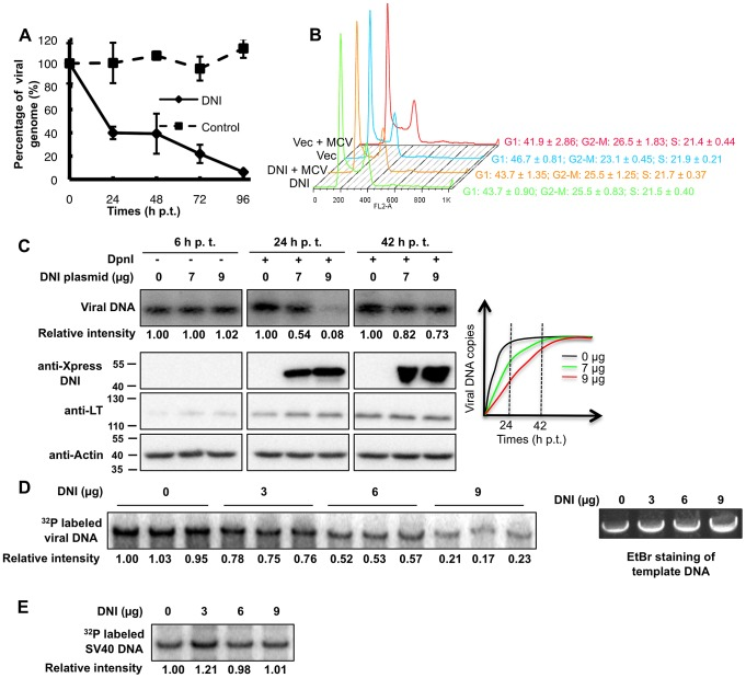 The DNI inhibits MCV DNA replication. A . DNI expression reduces MCV genome replication in an MCV sT/LT stable cell line. 293-4T cells were transfected with the MCV genome. At 84 h p.t., cells were re-transfected with either pcDNA4C-Brd4 471-730 (DNI) or pcDNA4C (control). The time for the second transfection was set as 0 hr. Viral genomes present in cellular DNA extracted at different time points were quantified using qPCR. Viral genome copies were normalized to beta-actin DNA and presented as a percentage of the viral genome detected at 0 hr. Mean and standard deviation were calculated from three independent experiments. B . FACS cell cycle analysis. 293T cells were transfected with pcDNA4C (Vec) or pcDNA4C-Brd4 471-730 (DNI) either alone or together with re-ligated MCV genome (MCV) as indicated. At 48 h p.t., cells were fixed and subjected to FACS analysis. C . The DNI inhibits autonomous MCV replication. 293T cells were co-transfected with 1 µg MCV genome and either 0, 7, or 9 µg of pcDNA4C-Brd4 471-730 (DNI). 2 µg of cellular DNA from 6 h p.t. was digested with EcoRI to show that equal amount of viral genomes were transfected into cells. 10 µg of DNA extracted from 24 and 42 h p.t. was digested with EcoRI and DpnI to detect the replicated viral DNA. The viral DNA was analyzed using Southern blotting. Intensities of autoradiography signal were analyzed using ImageJ and normalized to the value obtained with 0 µg of DNI at each time point. Protein extracts were immunoblotted for Xpress-DNI, MCV LT and actin. A schematic diagram of MCV replication time-course is also shown. D . The DNI inhibits viral DNA synthesis in vitro . 293T cells were co-transfected with pcDNA4C-MCV LT and pcDNA4C-Brd4. Cellular extracts were supplemented with increasing amount of recombinant DNI and used in the in vitro MCV replication assay. All reactions were performed in triplicates. DNA from the same reactions omitting [α- 32 P] dCTP and creatine kinase were resolved on an agarose gel an