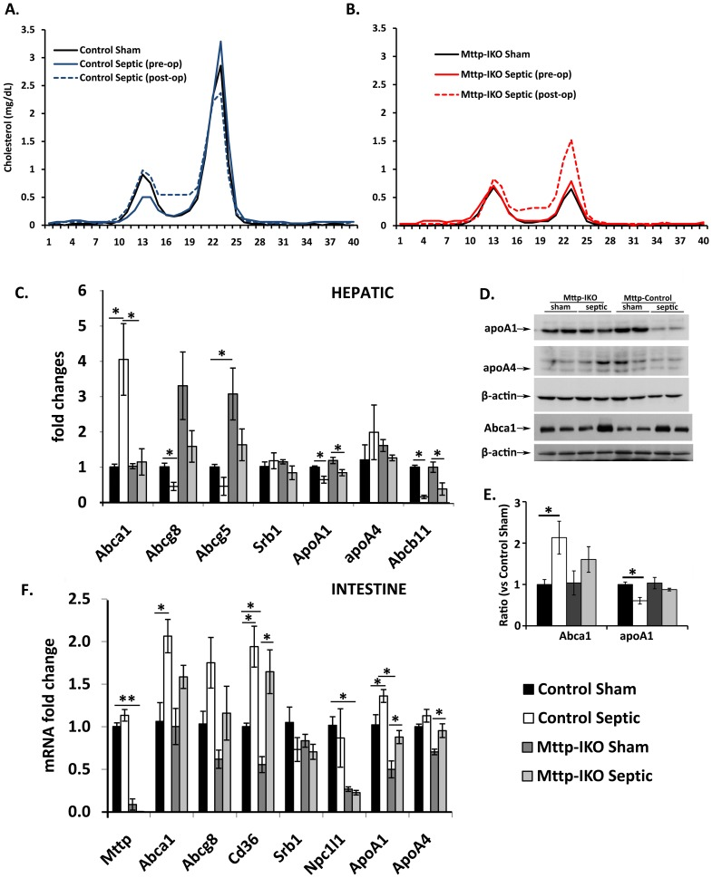 Effect of impaired intestinal lipid transport on serum lipoproteins. Lipoprotein distribution measured by fast protein liquid chromatography in control (A) and Mttp-IKO (B) mice. Pooled samples of serum from n = 5–10 mice per genotype were analyzed in sham animals and both before and 24 hr after induction of pneumonia in the experimental groups. Cholesterol was assayed enzymatically and peaks corresponding to fractions 10–16 indicate particles in the low density lipoprotein (LDL) range while fractions 19–26 correspond to high density lipoprotein (HDL). (C) Expression of genes implicated in hepatic cholesterol efflux were analyzed by qRT-PCR on samples of RNA from the indicated groups (n = 4 mice per genotype and treatment) (D) and (E). Expression of hepatic Abca1, apoA1 and apoA4 protein by SDS-PAGE and western blot. Gapdh was used as loading control. Panel D shows representative Western blotting results. Panel E shows densitometric scanning from groups of 4 mice per genotype and treatment. (F) Expression of genes implicated in intestinal lipid metabolism were analyzed by qRT-PCR on samples of small intestinal RNA from the indicated groups (n = 4 mice per genotype and treatment). *p