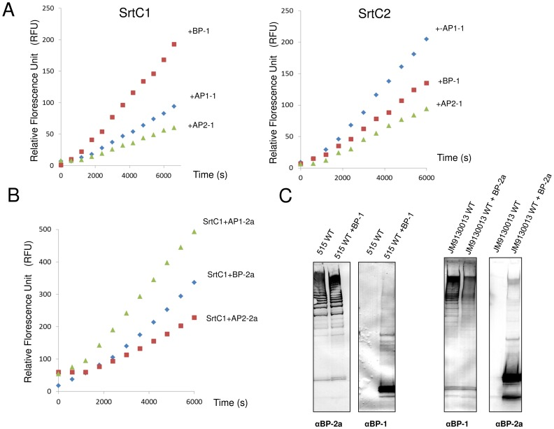FRET assay with PI-1 and PI-2a peptides for substrate specificity analysis of PI-1 SrtC1 and SrtC2. (A) The reaction solutions contained 128 µM of PI-1 fluorescent peptides and 25 µM of SrtC1-TM (left panel) or SrtC2-TM (right panel). The reactions were performed at 37°C in the assay buffer containing 25 mM HEPES pH 7.5, 100 mM NaCl and 1 mM DTT. Fluorescence emission was monitored every 10 minutes and an increase in fluorescence intensity was observed in the presence of BP, AP1 and AP2 peptides mimicking the LPXTG motif of PI-1 pilus proteins. (B) Reactions were performed with PI-2a peptides and 25 µM of SrtC1-TM in the same conditions described above. (C) In vivo substrate specificity analysis. Immunoblots of total protein extracts from GBS 515 (containing SrtC1 and SrtC2 of pilus island 2a) and JM9130013 (containing SrtC1 and SrtC2 of pilus islands 1 and 2b) wild-type and complemented strains with plasmids expressing the backbone proteins of PI-1 (BP-1) and PI-2a (BP-2a), respectively. The nitrocellulose membranes were probed with antisera specific for BP-1 and BP-2a.