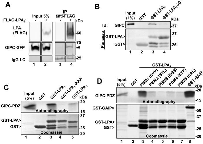 "GIPC directly interacts with the C-terminal PDZ binding motif of LPA 1 but not with other LPA receptors. A, Endogenous GIPC and GIPC-GFP co-immunoprecipitate with FLAG- LPA 1 from HEK cells expressing FLAG- LPA 1 (arrowhead, lane 4) but not control HEK cells (lane 3). C-terminally tagged GIPC-GFP and N-terminally tagged FLAG-LPA 1 were transiently coexpressed in HEK293 cells, and immunoprecipitation was carried out on cell lysates with mouse anti-FLAG IgG followed by immunoblotting with mouse anti-FLAG (LPA 1 ) and rabbit anti-GIPC IgG. Lanes were cropped from a single exposure of a continuous membrane. The lower panel shows the amount of IgG light-chain (IgG-LC) in each IP. Lanes 1–2 : Input showing the amounts of LPA 1 and GIPC present in the lysates used for the IP. B, Upper panel : GIPC binds GST-LPA 1 (GST fused to the cytoplasmic tail of mouse LPA 1 (aa 311–364), lane 3) but not to GST alone (lane 2) or GST-LPA 1 ΔC (lacking the last three C-terminal amino acids, lane 4). Immobilized recombinant GST, GST-LPA 1 and GST- LPA 1 ΔC were incubated 4–15 h with lysates from HEK293 cells transiently transfected with FLAG-GIPC. Proteins bound to immobilized fusion proteins were eluted with 2X sample buffer for SDS-PAGE and immunoblotted with anti-GIPC IgG. Lane 1: input, showing the amount of GIPC in 1% of the lysate used for the assay. Lower panel : Ponceau staining demonstrating the amount of GST proteins used in each assay. C, Upper panel : Autoradiography showing that in vitro translated, [ 35 S]GIPC PDZ domain binds to GST-LPA 1 (lane 3) but not to GST alone (lane 2), GST- LPA 1 AAA (last three amino acids mutated to alanine, lane 4), or GST-LPA 2 (lane 5). GST fusion proteins were immobilized on glutathione-agarose beads as in ""B"" and incubated with in vitro translated [ 35 S]Met-labeled, GIPC PDZ domain (aa 125–225). Bound proteins were separated by SDS-PAGE and detected by autoradiography. Lane 1: 5% of the in vitro translated protein. Lower panel : Coomassie Blue staining showing the GST proteins used for the assay. D, Upper panel: Autoradiography showing that in vitro translated, [ 35 S] GIPC-PDZ interacts with the C-terminal PDZ binding motif of LPA 1 (SVV, lane 3) and with GST-GAIP (lane 8, used as a positive control [7] but shows little or no interaction with GST alone (lane 2) or GST-LPA 1 mutants in which the three C-terminal amino acids were modified to those of LPA 2 (STL, lane 4), LPA 3 (NGS, lane 5), LPA 4 (STF, lane 6) or LPA 5 (SAL, lane 7). Immobilized GST fusion proteins were incubated with in vitro translated [ 35 S]Met-labeled GIPC PDZ and analyzed as in C. Lower panel : Coomassie Blue staining showing the amounts of GST proteins used."
