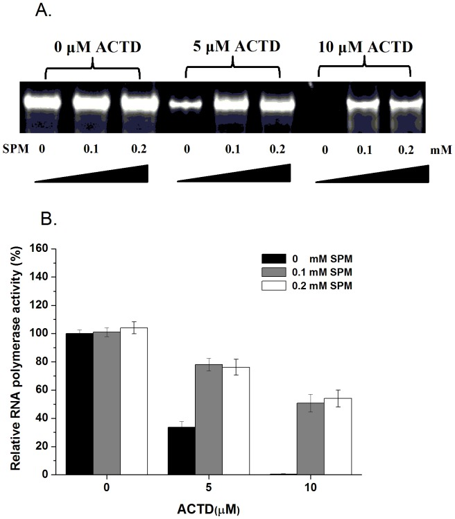 Spermine attenuates the inhibition of transcription by actinomycin D in vitro. ( A ) The effect of ACTD on T7 RNA polymerase activity in the presence of various concentrations of spermine (SPM). ( B ) Quantification of the percentage of RNA polymerase activity relative to the control treated with or without ACTD in the presence of various concentrations of spermine (SPM) (0, 0.1, and 0.2 mM). The data represent the mean values ±SDs from three separate experiments.