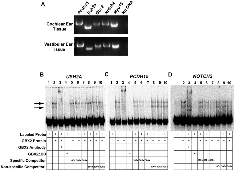 GBX2 directly targets multiple genes associated with Usher syndrome and inner ear development. (A) Reverse transcription (RT)-PCR analysis of Gbx2 and identified targets, Pcdh15 , Ush2a , and Notch2 , in E13.5 wild-type mouse cochlear or vestibular inner ear tissues. Myo15 positive control expression is observed in cochlear and vestibular tissues. (B,C,D) Gel-shift analysis for identified GBX2 targets USH2A , PCDH15 , and NOTCH2 . A reduction in the mobility of [ÿ - 32 P] ATP labeled USH2A , PCDH15 , and NOTCH2 100-mer probes is observed with the addition of GBX2 (black arrows), whereas no shift is observed with the addition of GBX2ΔHD (compare lane 2 to lane 4). A supershift is observed in lane 3 with the addition of anti-GBX2. Addition of identical USH2A , PCDH15 , and NOTCH2 100-mer unlabeled specific competitor probes at 100x, 300x, and 500x molar concentrations in lanes 5–7. Addition of USH2A , PCDH15 , and NOTCH2 45-mer unlabeled non-specific competitor probe, omitting the GBX2 DNA-binding sequence in lanes 8–10.