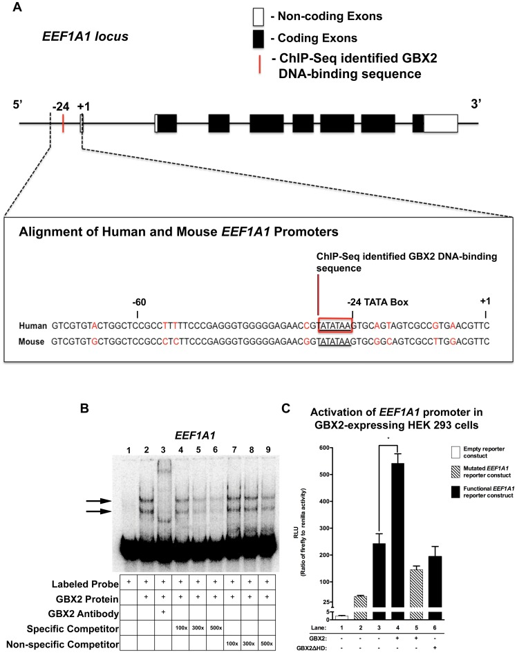 GBX2 binds to and functionally interacts within the EEF1A1 core promoter. (A) EEF1A1 locus depicting non-coding exons (white boxes), coding exons (black boxes), and the ChIP-Seq identified location of the GBX2 DNA-binding sequence (red bar). Alignment of the human and mouse ChIP-Seq identified EEF1A1 promoter region using sequences obtained from Ensembl [61] , EEF1A1 TATA box (underlined sequence) and GBX2 DNA-binding sequence (red box). (B) Gel-shift analysis for identified GBX2 target EEF1A1 . A reduction in the mobility of [ÿ - 32 P] ATP labeled EEF1A1 100-mer probe is observed with the addition of GBX2 (black arrows). A supershift is observed in lane 3 with the addition of anti-GBX2. Addition of identical EEF1A1 100-mer unlabeled specific competitor probes at 100x, 300x, and 500x molar concentrations in lanes 4–6. Addition of EEF1A1 45-mer unlabeled non-specific competitor probes, omitting the GBX2 DNA-binding sequence in lanes 7–9. (C) EEF1A1 promoter luciferase reporter assay. HEK 293 cells were transiently transfected with either the empty pGL4.10[ luc2 ] vector (white bar), the pGL4.10[ luc2 ] vector containing the functional EEF1A1 promoter sequence and the TATA box (TATATAA; black bars), the pGL4.10[ luc2 ] vector containing the mutated EEF1A1 promoter sequence with a mutated TATA box (TATATAA changed to GCGCGCC; striped bars), and the pGL4.70[ hRluc ] Renilla vector. Substantial luciferase activity was observed in cells transfected with the pGL4.10[ luc2 ] vector containing the functional EEF1A1 promoter compared to the empty pGL4.10[ luc2 ] reporter construct (compare lane 3 to lane 1). Maximal luciferase activation is observed upon the addition of GBX2 in cells with the pGL4.10[ luc2 ] vector containing the functional EEF1A1 promoter sequence (compare lane 4 to lane 3), and activation is reduced in GBX2Δ HD (lane 6) cells and cells expressing GBX2 and the pGL4.10[ luc2 ] mutated EEF1A1 reporter construct (compare lane 4 to lane 5). Luciferase activities