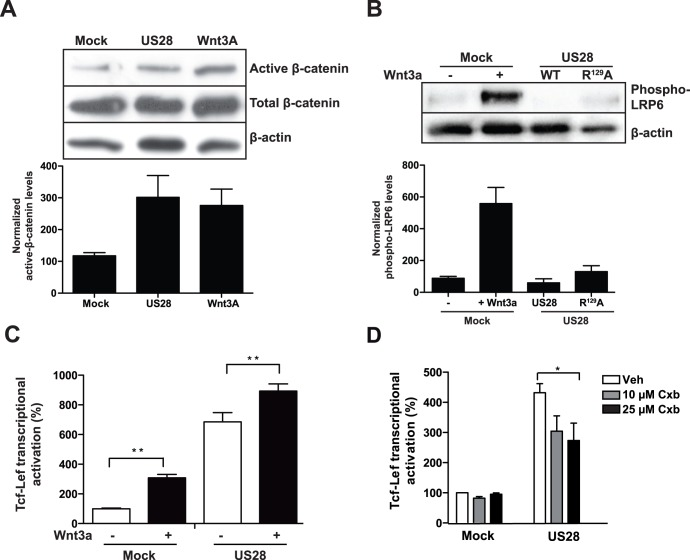 Classical Wnt/Frizzled/ß-catenin signaling is not involved in US28-mediated Tcf-Lef activation. A, Western blot analysis of total cell extracts of NIH-3T3 cells, stably expressing US28 or an empty plasmid (mock) which were treated with Wnt3a- (overnight, 200 ng/ml) and vehicle-treated mock cells. The blot was probed with antibodies recognizing the non-phosphorylated (active ß-catenin, total ß-catenin and actin. A representative blot is shown and normalized quantifications of (active) ß-catenin of independent experiments are shown below the blot. B, Western blot analysis of total cell extracts of NIH-3T3 cells stably expressing US28, the non G-protein coupling US28 mutant R 129 A or an empty plasmid (mock) and Wnt3a-treated mock cells. The blot was probed with antibodies recognizing Lrp6-phospho-ser 1490 and actin. A representative blot is shown and normalized quantifications of Lrp6-phospho-ser 1490 of independent experiments are shown below the blot. C, HEK293T cells co-transfected with the Tcf-Lef reporter gene construct and either US28-expressing or an empty control plasmid (mock) exposed to Wnt3a (overnight, 200 ng/ml). Luciferase activity was measured 24 hr after transfection and is displayed here as the percentage of the non-treated mock control that is set at 100%. D, HEK293T cells co- transfected with the Tcf-Lef reportergene and an US28-expressing construct or empty plasmid control (mock) were exposed to various concentrations (ON, 10–25 µM) of the COX2 inhibitor celecoxib (Cxb). Tcf-Lef reporter gene activation was measured 24 hr after transfection and is displayed here as the percentage of the mock control that is set at 100%.