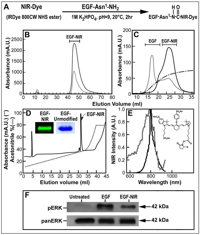 Synthesis, purification, spectrum, electrophoresis properties and signaling of EGF-NIR. (A) Reaction scheme for the synthesis of EGF-NIR conjugate, the first amino acid asparagine at the amino terminal is indicated as Asn1. (B) Separation of synthesis reaction mixture on gel permeation chromatography and of EGF-NIR sample from gel permeation on (C) anion exchange chromatography; EGF-NIR-full line (800 nm); gradient of NaCl-broken line; unconjugated EGF-dotted line. (D) HPLC separation of EGF-NIR purified from anion exchanger chromatography. Full line represents absorbance at 226 nm and dotted line indicates the gradient. Insert-12% SDS-PAGE analysis of 10 µg of EGF-NIR scanned with Odyssey and unmodified EGF stained with coomassie blue. (E) NIR spectrum of EGF-NIR [excitation (gray line) and emission (black line)]; Insert-IRDye 800CW NHS ester; (F) EGF-NIR induced Erk phosphorylation.