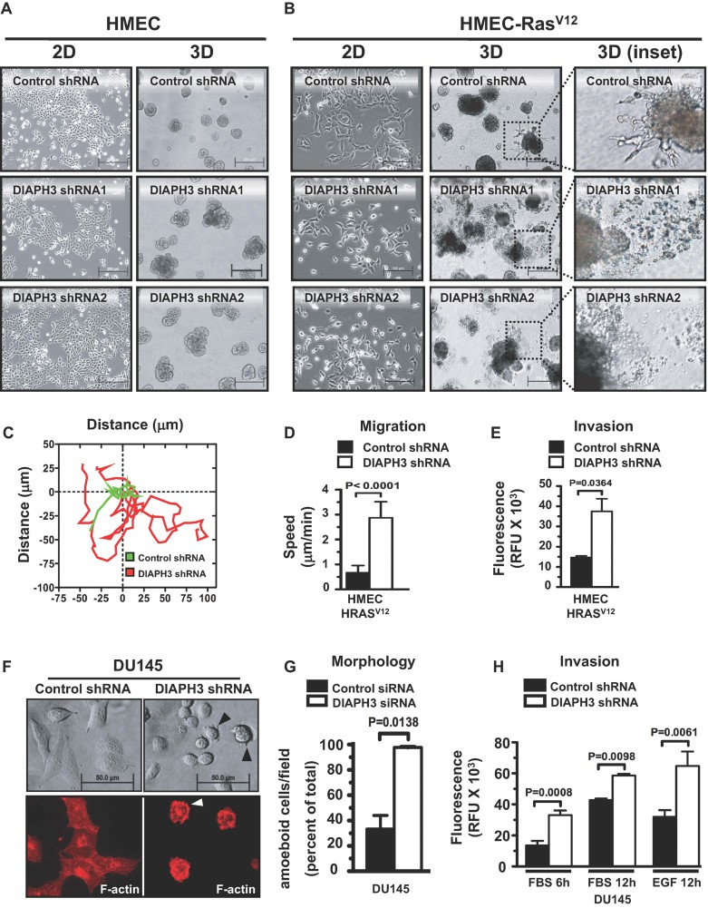 DIAPH3 knockdown induces an amoeboid phenotype in transformed cells Morphology of DIAPH3-depleted HMEC, compared to control cells. Plastic (2D), basement membrane cultures (3D). Scale = 200 µm. HRAS V12 cells grown in 2D adopt a round, refractile appearance when DIAPH3 is silenced. Scale = 100 µm. HMEC-HRAS V12 cells form cell aggregates with cord-like protrusions in 3D. DIAPH3 depletion causes junctional instability, with migration of single cells into the surrounding matrix ( inset , right ). Scale = 200 µm. Representative trajectories of control (green) and DIAPH3-deficient (red) HMEC-HRAS V12 cells. Quantification of migration speed, determined from C . DIAPH3-silenced HRAS V12 -HMEC display increased invasiveness. Growth of DIAPH3-deficient and control DU145 cells on a thick layer of collagen I. Arrowheads mark cell surface blebbing (top). Visualization of the cytoskeleton with phalloidin by immunofluorescence (IF) shows prominent cortical actin in DIAPH3-deficient cells (arrowhead, bottom). Scale = 50 µm. Increase in amoeboid morphology following expression of DIAPH3 siRNA. Invasion of <t>collagen</t> I by DU145 cells, with FBS or EGF as chemo-attractants, is increased in DIAPH3-deficient cells ( N ≥ 2 independent trials). See also Supporting Information Movies S1 and S2.