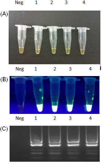 Optimisation of <t>Bsm</t> polymerase concentration. ( A ) Green color of LAMP positive samples, orange color of negative control, ( B ) The green fluorescence after addition of SYBR Green to each reaction mixture under UV light, ( C ) Electrophoresis of LAMP products in 2% agarose gel stained with GelRed™ <t>DNA</t> staining solution. Neg – negative control – reaction mixture without DNA template, 1 – Bsm polymerase 16 Units, 2 – Bsm Polymerase 8 Units, 3 – Bsm Polymerase 4 Units, 4 – Bsm Polymerase 2 Units.