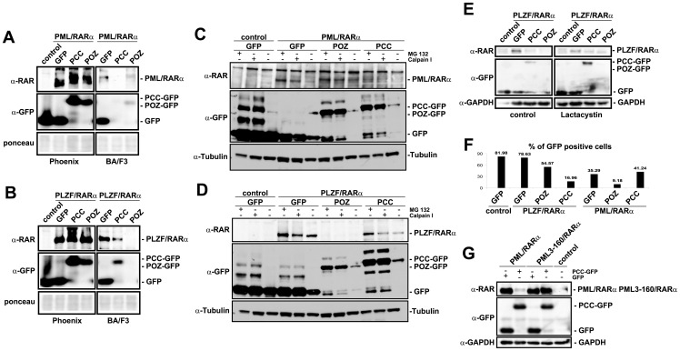 PM/RARα and PLZF/RARα, degrade in the presence of PCC and POZ, respectively. A and B , Western blot of the whole cell lysates of PML/RARα- ( A ) or PLZF/RARα ( B )-positive Phoenix and BA/F3 cells probed against RARα (α-RARα) and GFP (α-GFP). C and D , BA/F3 cells were treated with 10 µM MG132 or 20 µM Calpain I for 16 h. Control: empty vector; tubulin: loading control. E . BA/F3 cells were treated with 500 nM Lactacystin for 24 h. Control: empty vector; GAPDH: loading control. F , The infection efficiency, measured as the percentage of GFP-positive cells, of the Ba/F3 cells after infection with PINCO (control) or PIDE carrying PLZF/RARα alone or in combination with GFP, GFP-POZ or GFP-PCC or PML/RARα alone or in combination with GFP, GFP-POZ or GFP-PCC peptides, as indicated. G , Western blot of the Phoenix whole cell lysate expressing PML/RARα or a sumoylation-deficient mutant (PML3-160/RARα) PCC-GFP or GFP, probed with α-GFP, α-RARα and α-GPADH as a loading control. The image shown is a representative of three separate experiments.