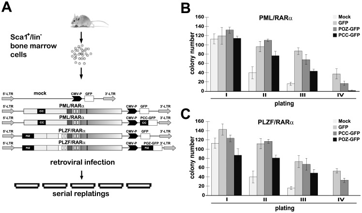 PCC and POZ reverse the proliferation capacity of PML/RARα- and PLZF/RARα-positive murine hematopoietic stem cells. A , Schematic diagram of the experimental conditions. Sca1 + /lin − bone marrow cells were isolated and infected with retroviral vectors containing PML/RARα or PLZF/RARα and GFP or PCC/POZ-GFP. Infected cells were plated in methylcellulose on day 3. Colony counts and replating were measured every 10 days. B and C , Colony count of Sca1 + /lin − bone marrow cells infected with PML/RARα ( B ) or PLZF/RARα ( C ) and GFP or PCC/POZ-GFP cultured in methylcellulose. Mock: empty vector.