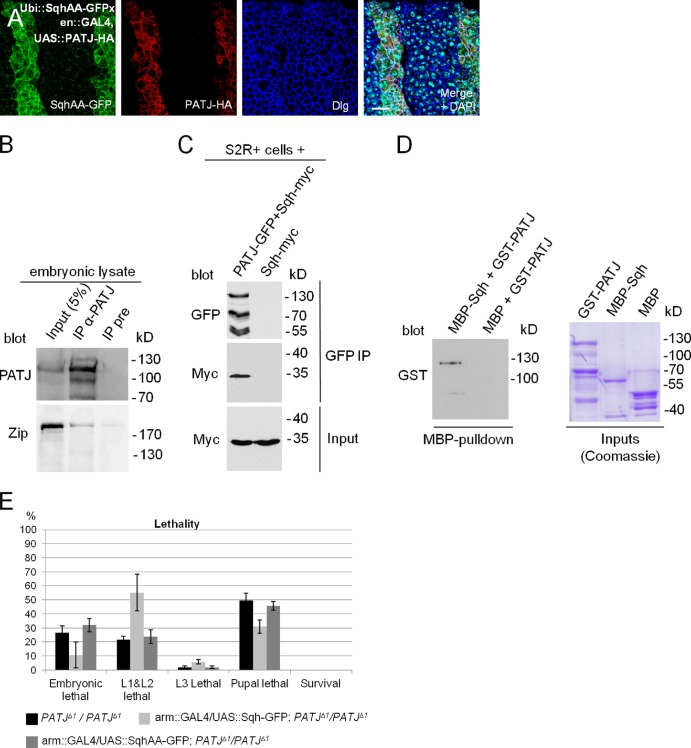 PATJ associates with Myosin in vitro and in vivo. (A) Segmental overexpression of PATJ-HA stabilizes a Sqh protein, which cannot be phosphorylated, at the AJ (SqhAA-GFP). (B) Endogenous Zip can be copurified together with PATJ from embryonic lysates. Both blots are from the same gel. (C) Coimmunoprecipitation of PATJ-GFP and Sqh-myc from transfected S2R+ cells. (D) GST-PATJ directly associates with MBP-Sqh in a MBP pull-down assay. (E) Overexpression of wild-type Sqh but not of a phosphorylation-deficient version (SqhAA) can partly rescue PATJ mutant embryonic lethality. Lethality data were averaged from three different experiments with 100 embryos each. IP, immunoprecipitation; UAS, upstream activation sequence. Error bars show SDs. Bar, 10 µm.