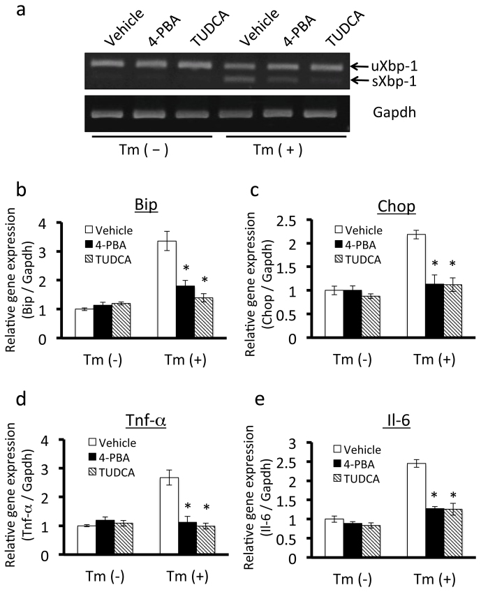 Effects of chemical chaperones on ER stress and the expression of inflammatory cytokines in 3T3-L1 adipocytes. A, Pretreatment with the chemical chaperones 4-PBA or TUDCA inhibited tunicamycin-induced up-regulation of sXbp-1 mRNA in 3T3-L1 adipocytes. 3T3-L1 adipocytes were treated with 7.5 mM 4-PBA or 0.5 mg/ml TUDCA for 14 hours, and then treated with 0.6 µg/ml tunicamycin for 6 hours. uXbp-1 , unspliced forms of Xbp-1 mRNA; sXbp-1 , spliced forms of Xbp-1 mRNA. B and C, Effects of 4-PBA or TUDCA on the mRNA expression of the ER stress markers Bip (B) and Chop (C) in 3T3-L1 adipocytes. 3T3-L1 adipocytes were treated with 7.5 mM 4-PBA or 0.5 mg/ml TUDCA for 14 hours, and then treated with 0.6 μg/ml tunicamycin for 12 hours. Pretreatment with 4-PBA and TUDCA prevented the up-regulation of Bip and Chop induced by tunicamycin. Values are mean ± SD (n = 3). *p