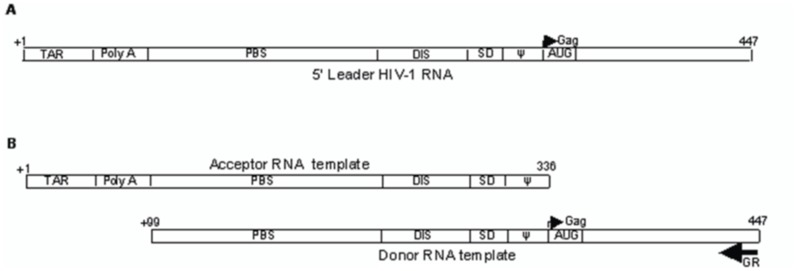 Schematic representation of RNA transcripts showing motifs within the 5′ UTR of HIV-1 RNA genome. (A)5′ leader HIV-1 RNA transcripts including the 5' end of the gag gene (position +1 to 447 relative to the transcriptional start site +1). (B) Acceptor and donor RNA templates used in the template-switching assays.