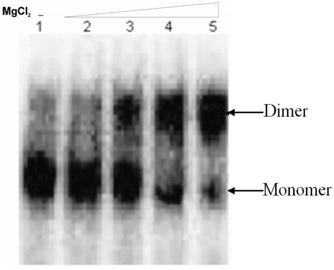 Dimerization efficiency of the HIV-1 RNA (1–447) transcript. The RNA transcripts were incubated in monomer (no MgCl 2 ) and dimerization buffer with varying concentration of MgCl 2 . All samples were analyzed on TBM gels. Lane1: monomer buffer, Lane 2: Dimerization buffer with 1 mM MgCl 2 Lane 3: Dimerization buffer with 2 mM MgCl 2 , Lane 4: Dimerization buffer with 5 mM MgCl 2 , Lane 5: Dimerization buffer with 10 mM MgCl 2.