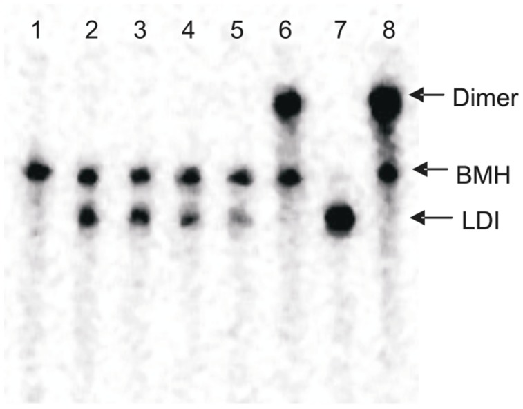 Mobility of HIV-1 leader RNA (447nts) in different buffers. The RNA transcripts were incubated in different buffer conditions and were analyzed on 4% non-denaturing TBE gel. Lane 1: Formamide buffer, Lane 2: Tris-Cl buffer, Lane 3: TN buffer, Lane 4: TN buffer with 0.1 mM MgCl 2 , Lane 5: TN buffer with 1.0 mM MgCl 2 , Lane 6: TN buffer with 5 mM MgCl 2 , Lane 7: TEN buffer and Lane 8: Dimerization buffer with 5 mM MgCl 2 .