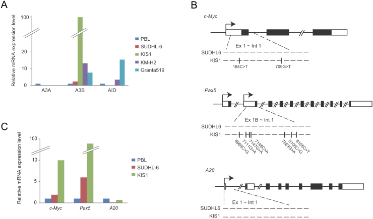 Expression of A3B and somatic mutations in oncogenes in human lymphoma cell lines. (A) Quantitative RT-PCR for A3A , A3B , and AID in lymphoma cell lines. The levels of target cDNA were normalized to the endogenous hypoxanthine phosphoribosyl transferase 1 ( HPRT1 ) and then compared to those in peripheral blood lymphocytes. (B) Mutational analyses of C-myc , Pax5 , and A20 in SUDH6 and KIS1 cells. We recovered total DNA from the cells and amplified the sequence between exon1 and intron1 of C-myc , Pax5 and A20 by PCR and performed direct sequencing of the amplicons. Locations of somatic mutations are shown below the loci with their positions. (C) The expression levels of transcripts of C-myc , Pax5 , and A20 in KIS1 and SUDHL6 cells. Quantitative RT-PCR was similarly performed with (a).