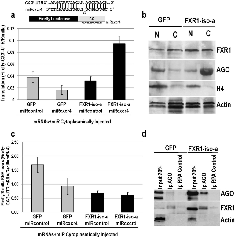 Expression of FXR1-iso-a to overexpress FXR1 levels increases the cytoplasmic levels of AGO and rescues translation activation of CX mRNA by miRcxcr4, injected cytoplasmically into oocytes. (a) Oocytes were nuclear injected with DNA plasmids to express either GFP control or FXR1-iso-a in oocytes and were subsequently cytoplasmically injected with miRcxcr4 or control let-7a, CX and Renilla reporters.Upregulated expression of the CX reporter in the presence of miRcxcr4 was rescued upon overexpression of FXR1-iso-a but not with GFP control or with the control microRNA. (b) Western blot analysis of nuclei (N) and cytoplasm (C) extracts (soluble extracts that were not sonicated) from 20 immature, folliculated oocytes each that were injected with DNA plasmids to express either GFP control or FXR1-iso-a. Histone H4 and actin served as controls. FXR1-iso-a expression leads to increased FXR1 levels as well as increased cytoplasmic levels of AGO. AGO is more clearly detected when cytoplasmic extracts are sonicated ( Fig. 2a ) compared to soluble cytoplasmic extracts (this figure) 38 . (c) mRNA levels of the CX reporter normalized to Renilla reporter levels as analyzed by qRT-PCR with GFP or FXR1-iso-a expression do not correlate with translation changes in (a). (d) AGO2 (Wako) immunoprecipitates from cytoplasmic samples expressing either GFP control or FXR1-iso-a were analyzed for co-immunoprecipitation of FXR1. Increased levels of FXR1 were immunoprecipitated with samples overexpressing FXR1-iso-a. RPA antibody immunoprecipitation served as an antibody control. Increased AGO and FXR1 levels can be observed in the Input lane of the samples overexpressing FXR1-iso-a compared to Actin levels used as a loading control; the AGO antibody amounts (1/3) used for immunoprecipitation are limiting. The average values of three replicates with standard deviations as error bars are shown in a, c.
